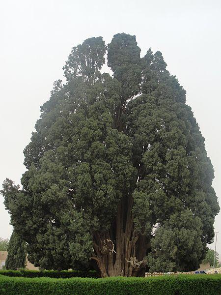 Zoroastrian Sarv