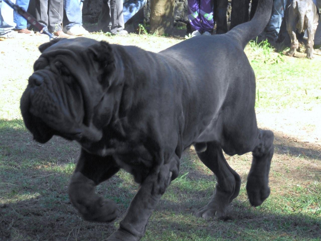 Top 10 Biggest Dog Breeds In The World