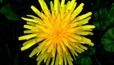 Dandelion- effective medicinal plants