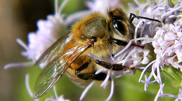 Africanized bee, most dangerous animals in the world