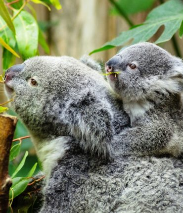 female koala and her baby,Amazing moms