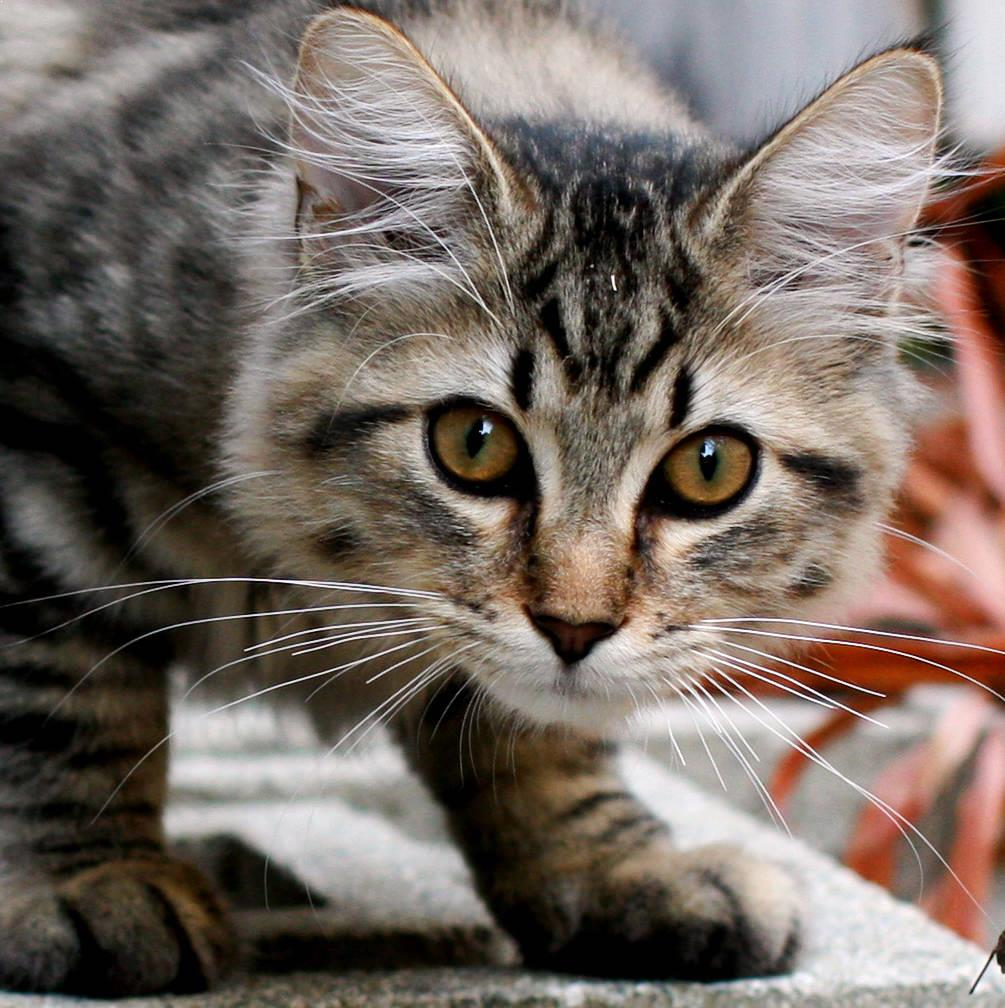 Top 10 st Cat Breeds In The World