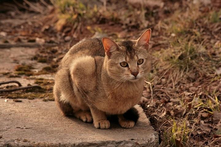 largest cat breeds
