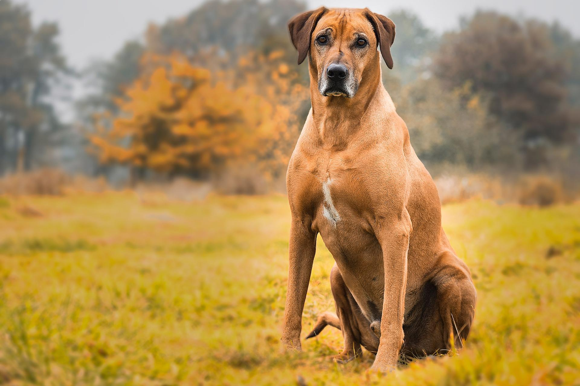 Best Large Breed Protective Dogs