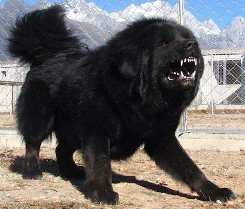 Top  Guard Dogs In The World Video