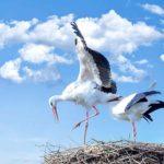 Highest Flying Birds