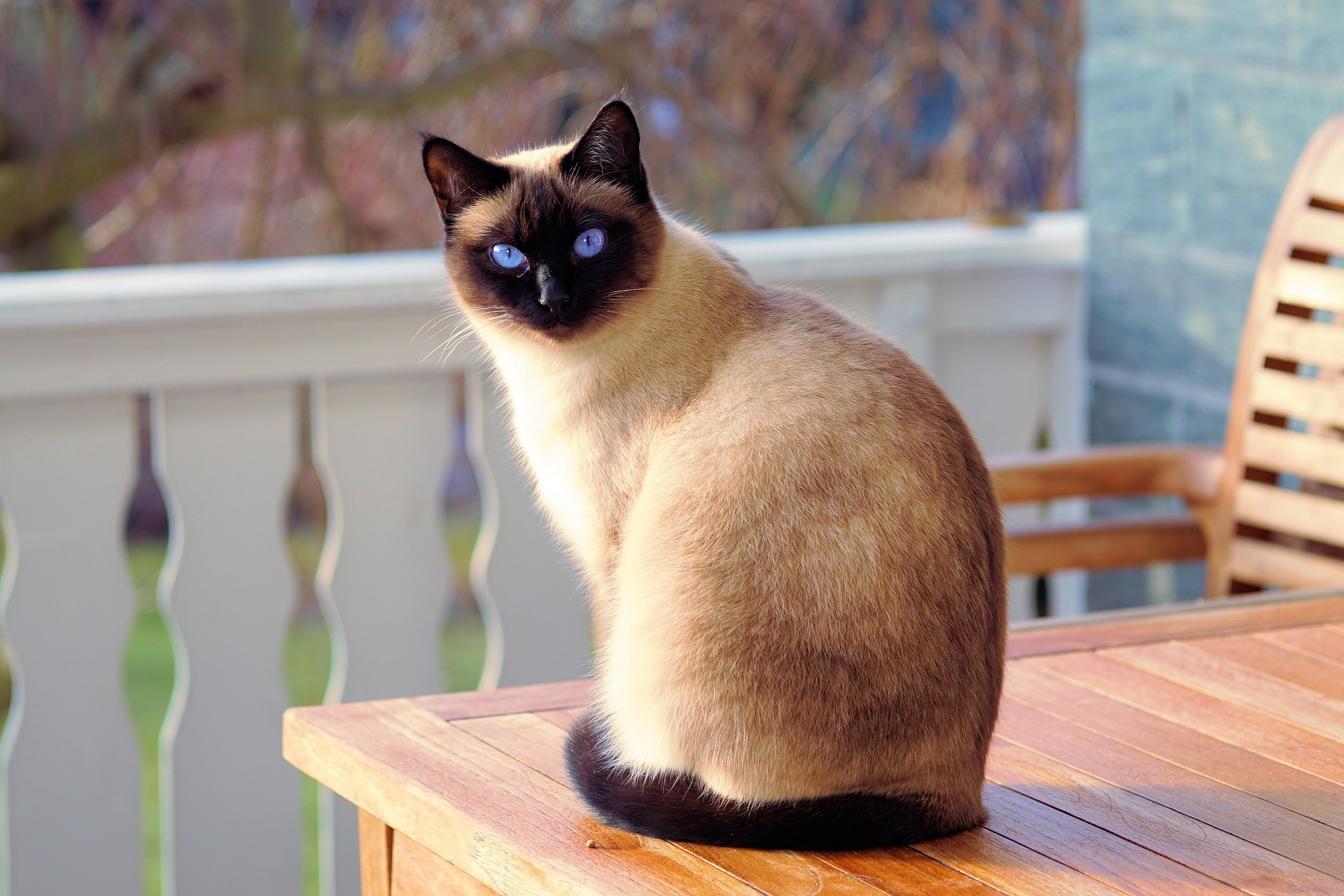 Big Brown Siamese Cat