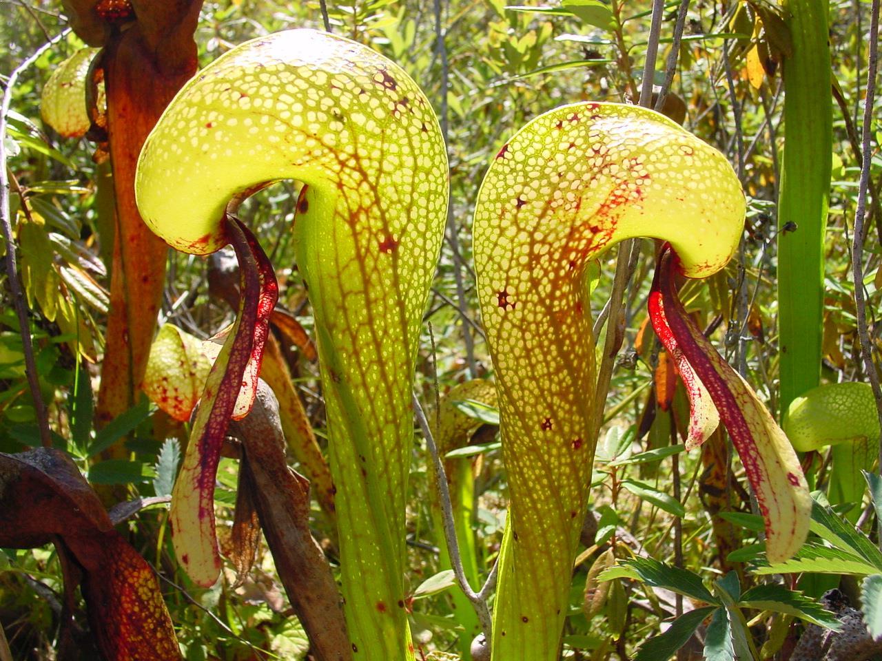 carnivorous plants essay