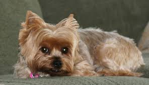 Can Yorkies Eat Peanut Butter?