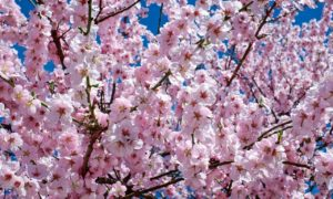 Cherry Blossoms Around the World