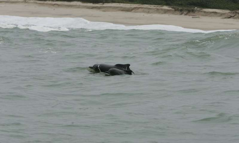 Atlantic humpback dolphins