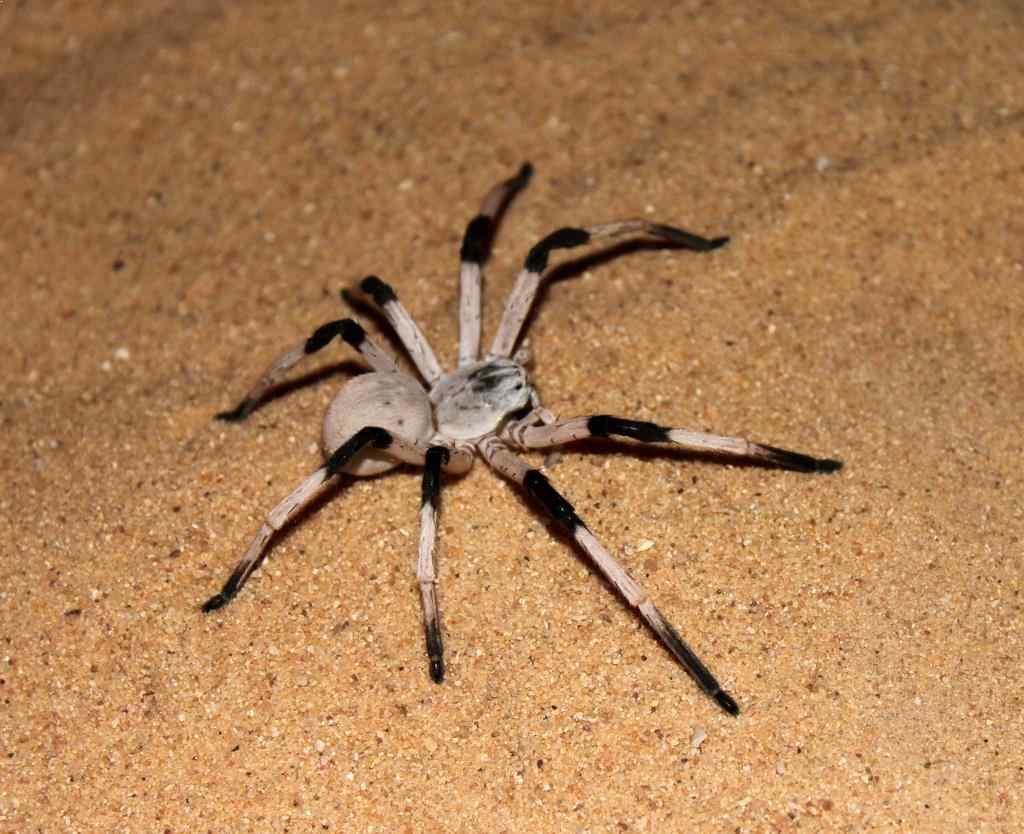 biggest spiders