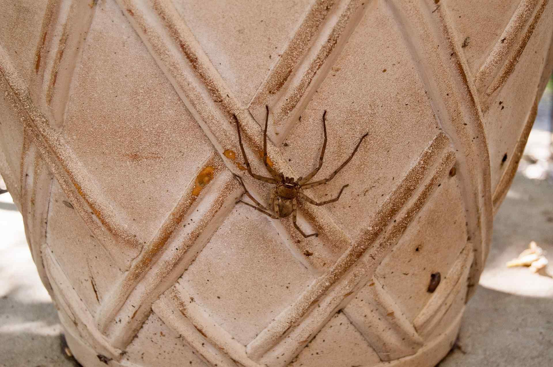 THE HUNTSMAN SPIDER