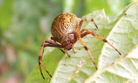 Australian Garden Orb Weaver Spider