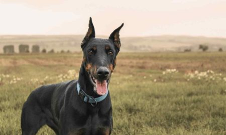 Doberman Pinschers