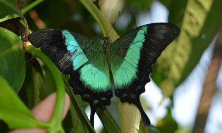 Malabar Banded Peacock