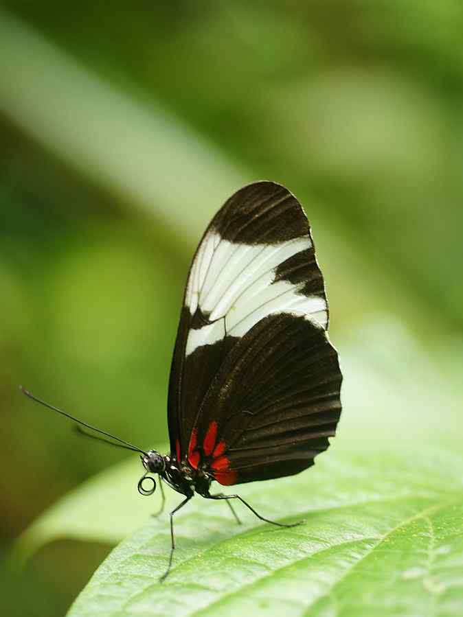 Sapho Longwing