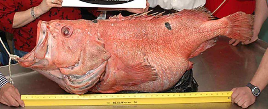 Shortraker rockfish