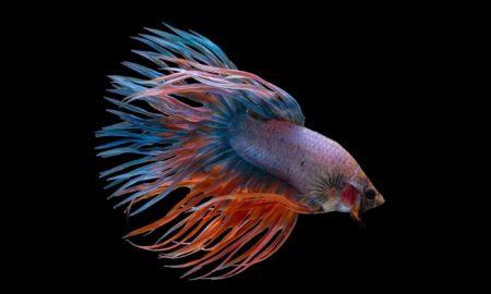 Crown tail Betta fish