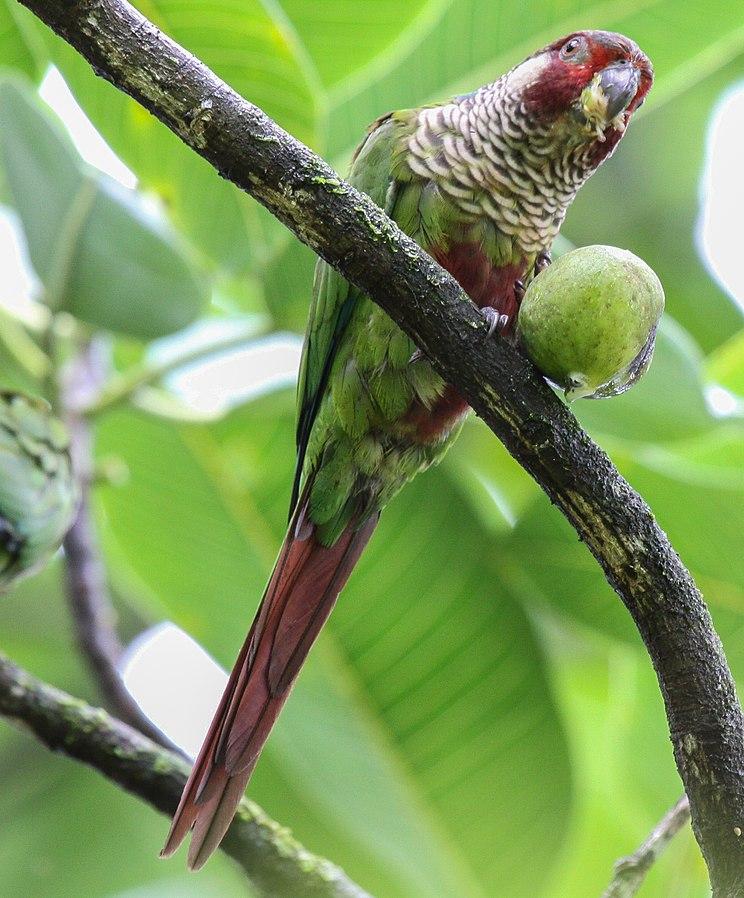 Azuero parakeet