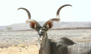 The Kudu Antelope