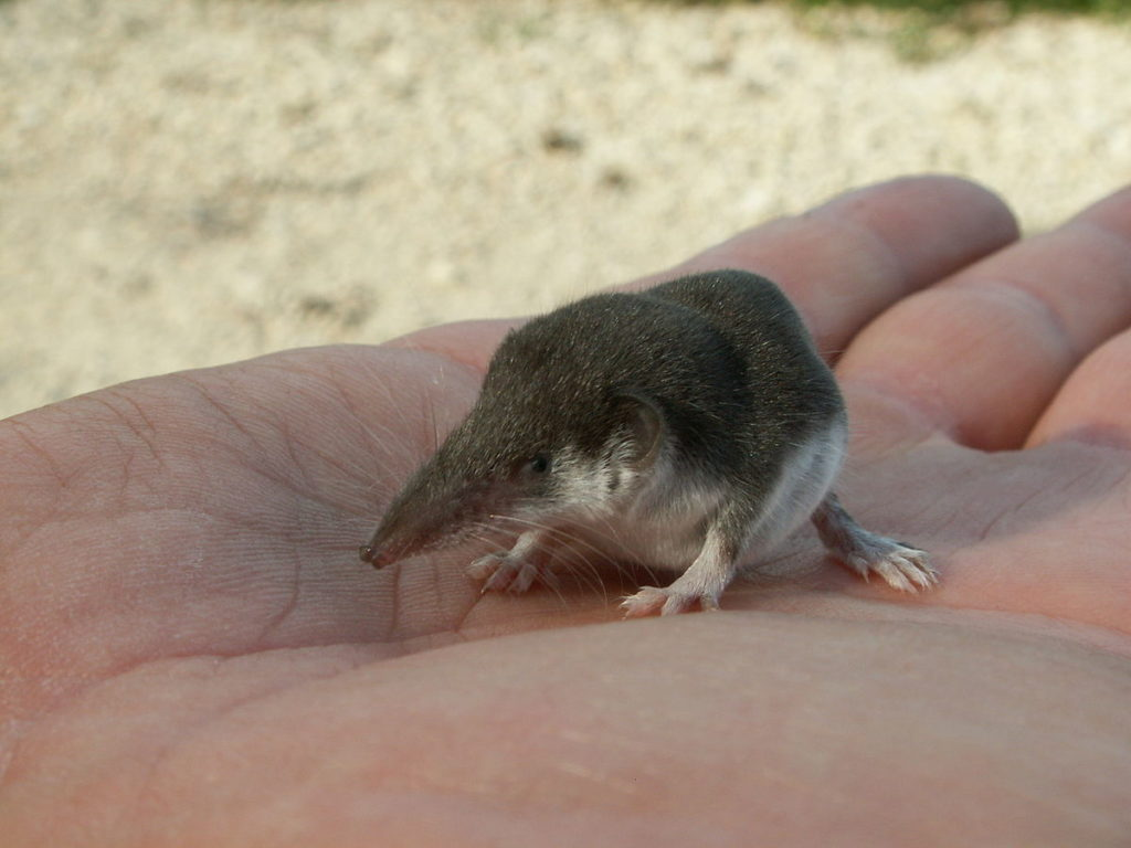 Etruscan Shrew (Smallest Mammal By Weight)