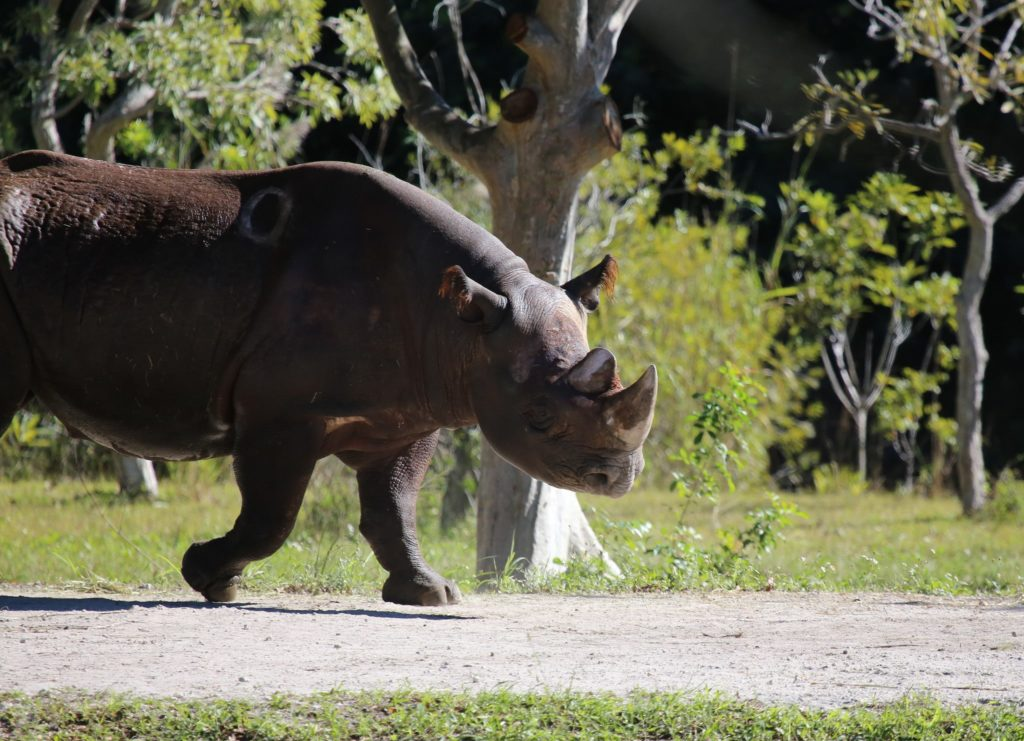 WEST AFRICAN BLACK RHINOS